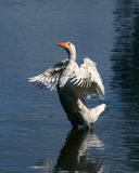 Goose. The white goose, 져 wings and costing in water Stock Photography