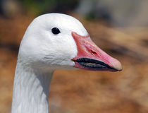 Goose. Portrait of a white goose with afunny beak Royalty Free Stock Photos