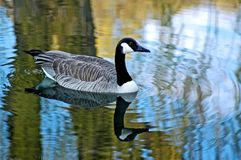 Goose. A reflective picture of a goose on a wisconson pond Stock Photo