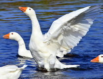 Free Goose Stock Photos - 33988693