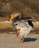 Goose. Dancing in the morning light Stock Photo