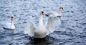 Goose. Three geese Royalty Free Stock Photos