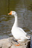 Goose. Cute goose ,Photo by Toneimage in China,a photographer living in Beijing Royalty Free Stock Image