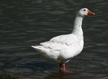 Goose. White Goose Royalty Free Stock Images