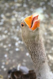 Goose. A close-up of a goose head with orange beak Royalty Free Stock Images