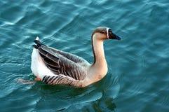Goose. Brant's Goose on the Colorado River near Austin Texas stock photography
