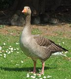 Goose. A goose stands guarding a brood of young sheltering from the sun under a tree royalty free stock photos