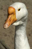 Goose. Close-up portrait of white goose Royalty Free Stock Images
