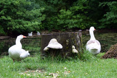 Goose. With young  at pond on the grass Royalty Free Stock Image