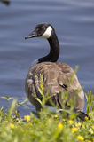 Goose. A canadian goose in its natural habitat Royalty Free Stock Photo