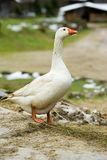 Goose royalty free stock image