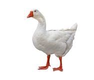Free Goose Stock Photos - 6444453