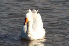 Free Goose Royalty Free Stock Image - 80126766