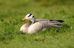 Goose. A Bar Headed Goose Stock Images