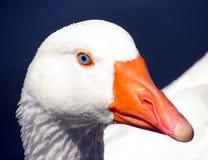 Goose. A curious goose Stock Photography