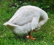 Goose adult hid its beak