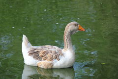 Goose afloat. Royalty Free Stock Images