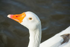 The goose in the afternoon light. Royalty Free Stock Photography