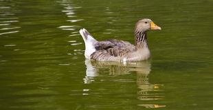 Goose alone in lake Royalty Free Stock Photos