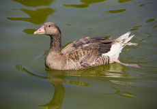 Goose alone in lake stock photo