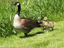 Free Goose And Gander3 Stock Photo - 856090