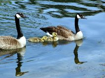 Free Goose And Gander4 Stock Image - 856091
