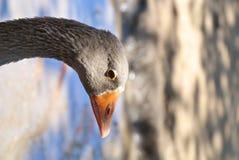 Goose. Animal farm female goose  bird Stock Photography