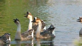 Goose Animal in Lake stock footage