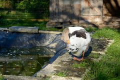 Goose in animal welfare. At a pond in free range royalty free stock photo