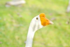 Goose , Anser anser or anser cygnoides Royalty Free Stock Photography