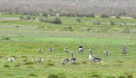 Goose (Anser anser) Stock Images