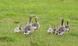 Goose (Anser anser) Stock Image
