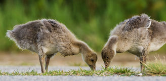 Goose (Anser anser) Royalty Free Stock Photography