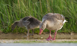 Goose (Anser anser) Stock Photo