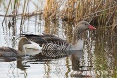 Goose (Anser anser) Stock Photos