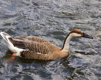 Goose-Anser cygnoid Royalty Free Stock Photos
