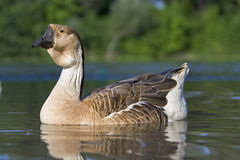 Goose : Anser cygnoides Royalty Free Stock Photos