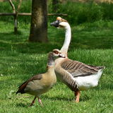 Goose anser cygnoides Royalty Free Stock Image