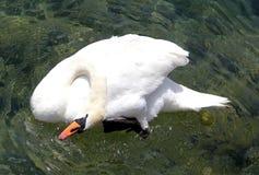 Goose. Asian White feeding goose of its own homenn Royalty Free Stock Photos