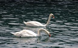 goose. Asian White feeding goose of its own homenn Royalty Free Stock Images