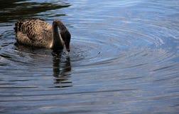 Goose. Asian White feeding goose of its own homenn Stock Image