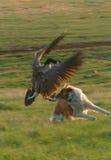 Goose attack Stock Photos
