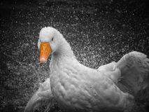 A goose attacking royalty free stock photography