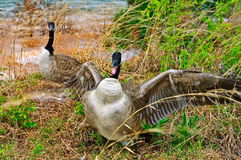 Goose Attacking Protecting Nest Stock Image
