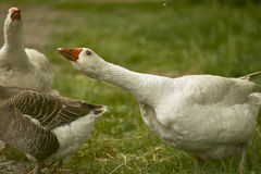 The goose attacks. Wild geese in attack and defensive position in their natural habitat royalty free stock photo