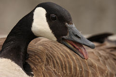 Goose With An Attitude. Nasty Canada Goose hissing at the viewer Royalty Free Stock Photography