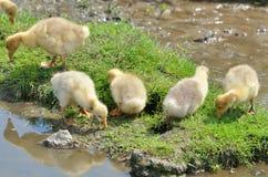 Goose babies Royalty Free Stock Image