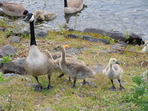 Goose & Babies Stock Images