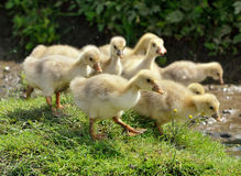 Goose babies running Stock Photos