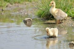 Goose babies Stock Image